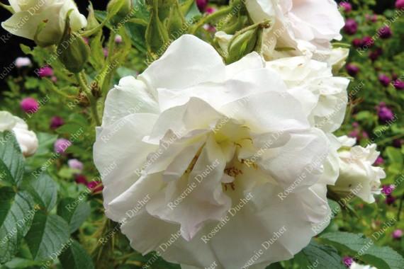 Rosier buisson Blanc Double de Coubert