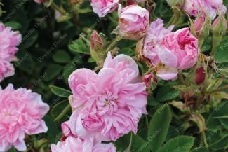 Shrub rose Oomar Kayyham
