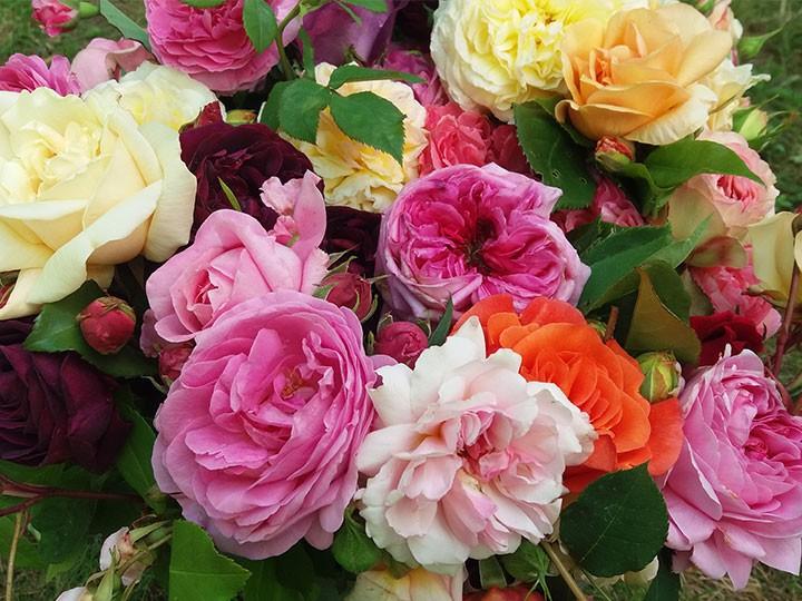 Rare heritage roses