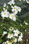 Climbing rose Laevigata