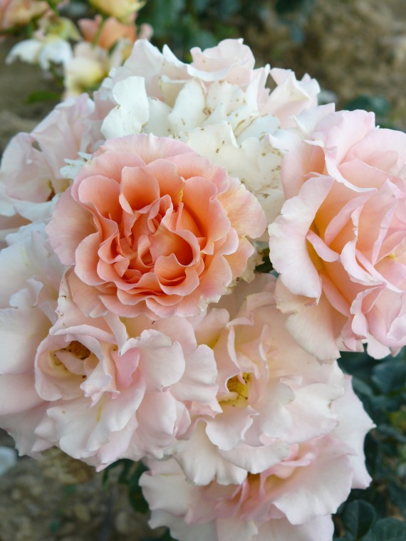 Shrub rose creation Jean de Luxembourg, roi de Boheme ®