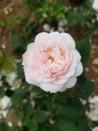 Shrub rose Comtesse de Rocquigny