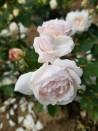 Rosier buisson Comtesse de Rocquigny