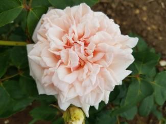 Climbing rose Comte de Torres