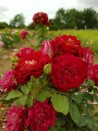 Shrub rose creation Bernard Mas ®