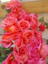 Shrub rose creation Soyeuse de Lyon ®