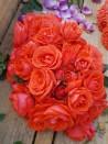 Shrub rose creation Clotilde Courau ®