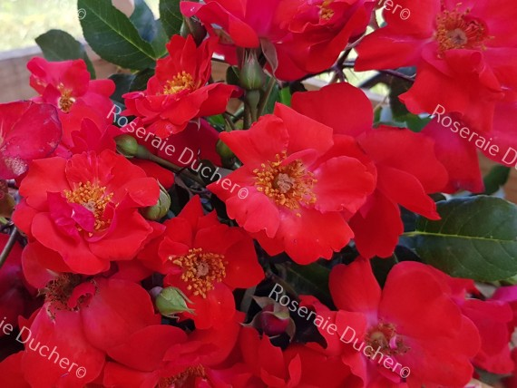 Shrub rose creation Millard de Martigny ®