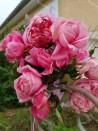 Shrub rose Marie Ducher