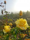 Shrub rose Julien Potin
