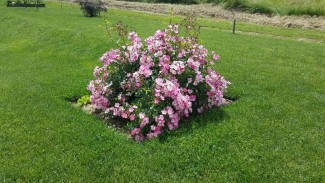 Shrub rose Ballerina