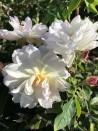 Shrub rose Princesse de Nassau