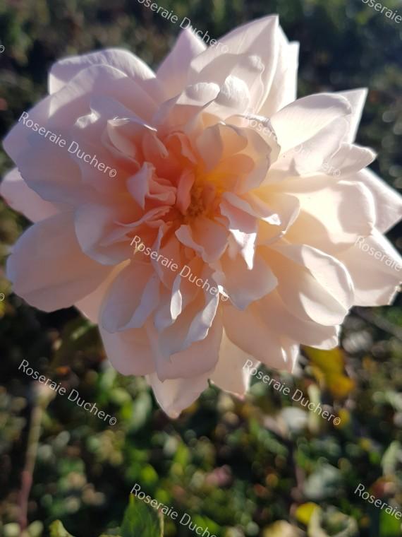Shrub rose Madame Edmond Rostand