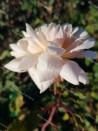 Rosier buisson Madame Edmond Rostand