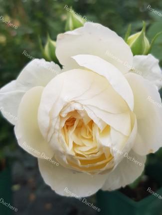 Shrub rose creation Benoite Groult ®