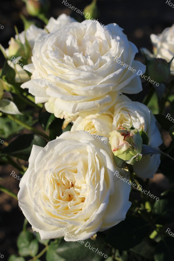Shrub rose creation Benoite Groult ®