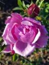 Rosier buisson Archiduchesse Elisabeth d'Autriche