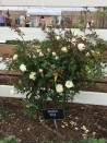 Shrub rose Ducher