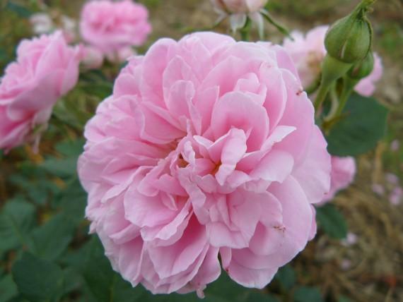 Shrub rose Jacques Amyot