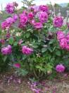 Shrub rose Gloire de Ducher