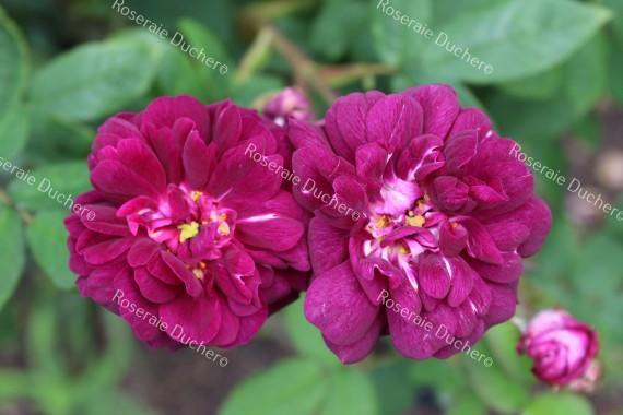 Shrub rose Cardinal de Richelieu