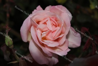 Shrub rose Jean Ducher