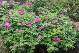 Shrub rose Rosa Rugosa