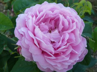 Shrub rose Monsieur de Morand