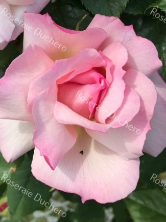Climbing rose Lady Waterlow