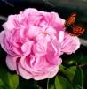 Shrub rose Jacques Cartier