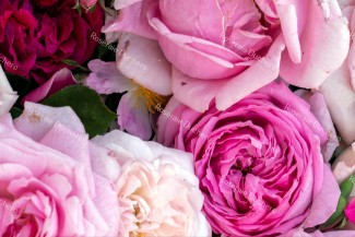 Discovery package of old scented roses 3 varieties