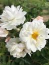 Rosier buisson Princesse de Nassau