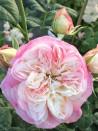 Rosier buisson création Nancy Bignon-Cordier ®