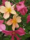 Shrub rose Rosa Mutabilis