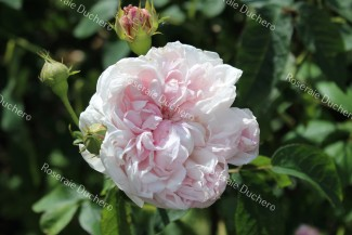 Shrub rose Cuisse de Nymphe Emue