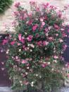 Rosier buisson Rosa Mutabilis