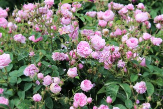Shrub rose Rosa Centifolia