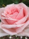 Shrub rose creation Belle de la Carniere ®