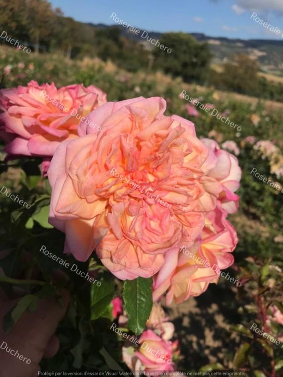 Shrub rose Clementina Carbonari