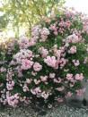 Rosier grimpant création Pink Ghislaine de Féligonde ®