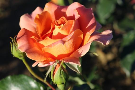 Shrub rose Angèle Pernet