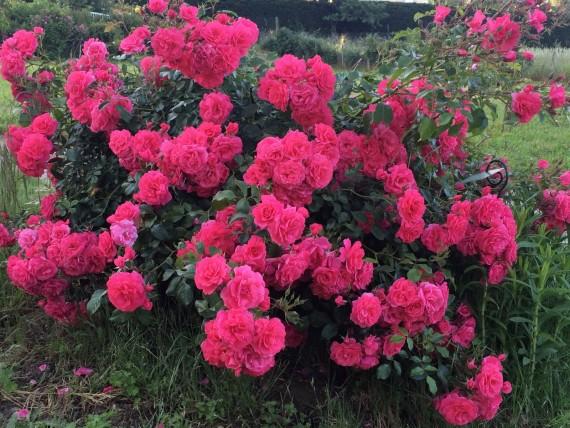 Rosier buisson Anne Puvis de Chavannes