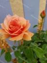 Shrub rose Duqusa de Peneranda