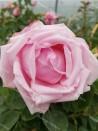 Climbing rose Madame Caroline Testout