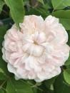 Shrub rose White Jacques Cartier