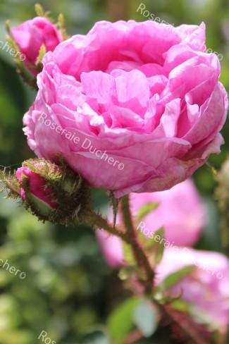Shrub rose Salet