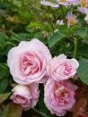 Shrub rose anne puvis de chavannes
