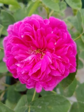 Rosier buisson Rose de Rescht