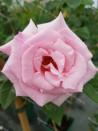 Climbing rose Kathleen Harrop