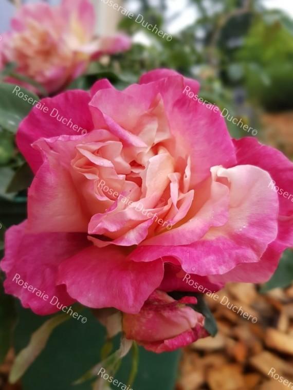 Shrub rose General Gallieni